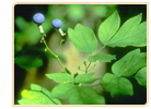 black cohosh blue