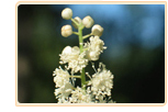 black-cohosh-substitute