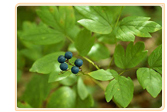 Blue and Black Cohosh