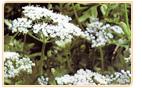 dong quai herbs