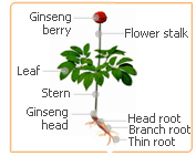 ginseng flowers