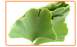Growing Your Own Ginkgo Biloba