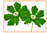 I'm Having Hot Flashes. Can Black Cohosh Help?