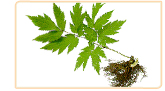 cohosh herb