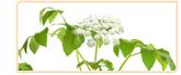 dong quai herb