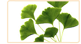 ginkgo biloba herb