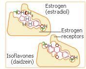 phytoestrogen receptors