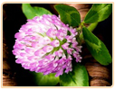 red clover dangerous side effects