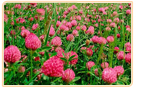 red clover growing