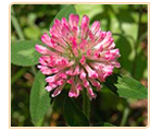 red clover medicinal