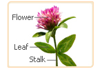 red clover parts
