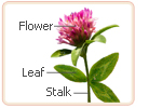 red clover stalk