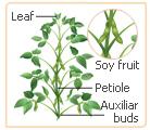 soy leaves