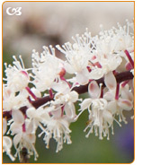 Black cohosh is a popular herbal remedy for night sweats and hot flashes.