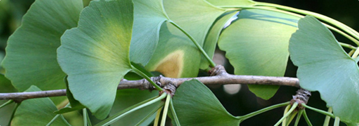 Ginkgo Biloba