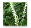 Black Cohosh