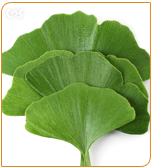 Ginkgo Biloba help to boost the brain's energy