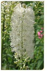 Black Cohosh stems and roots suppresses luteinizing hormone, producing an estrogenic effects