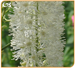What is Black Cohosh?