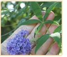 vitex-grows