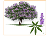 vitex-plant
