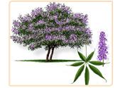vitex-plant