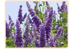 vitex-tree